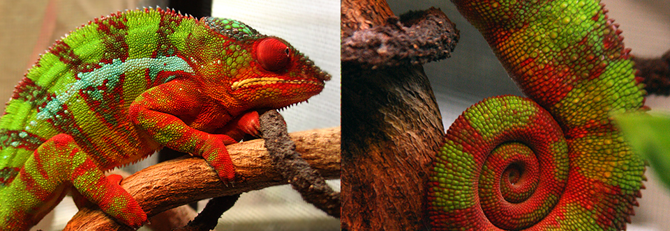 Close-up with Huey, Fauna's resident Panther Chameleon