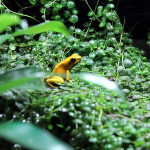 Yellow terribilis dart frogs (Phyllobates terribilis)