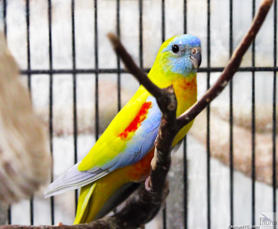 Turquoisine Grass Parakeet