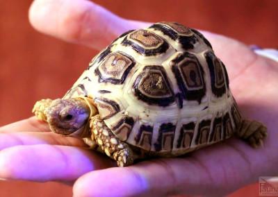 High-white Leopard Tortoise (Geochelone pardalis)