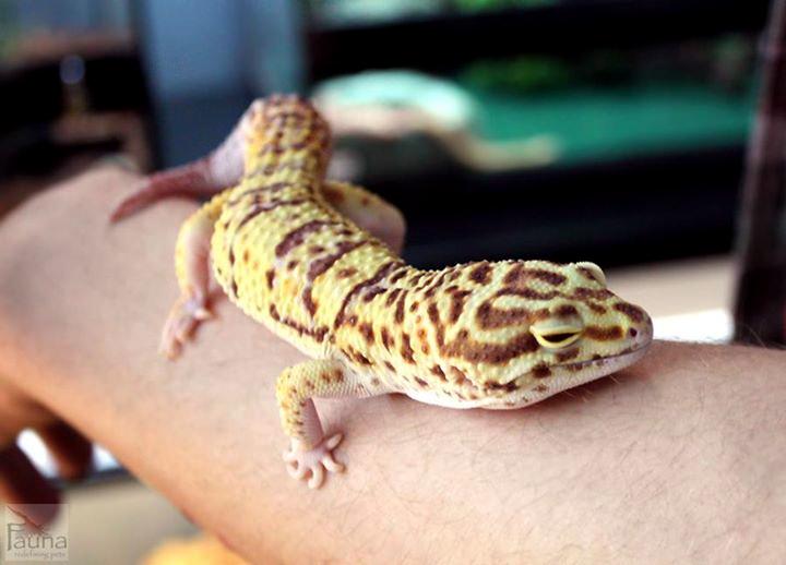 Leopard Gecko (radar morph)