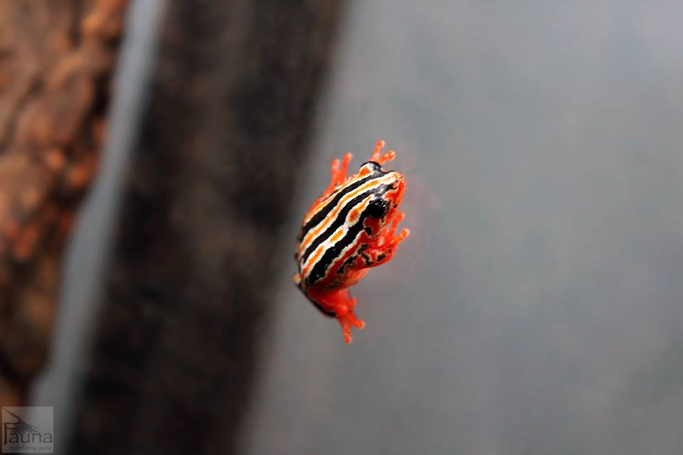 Painted Zebra Reed Frog