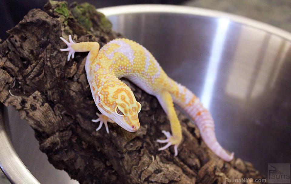 Leopard Gecko (Tangerine Tremper Albino het Radar)
