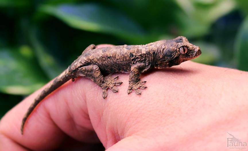 Chahoua Gecko (Rhacodactylus chahoua)