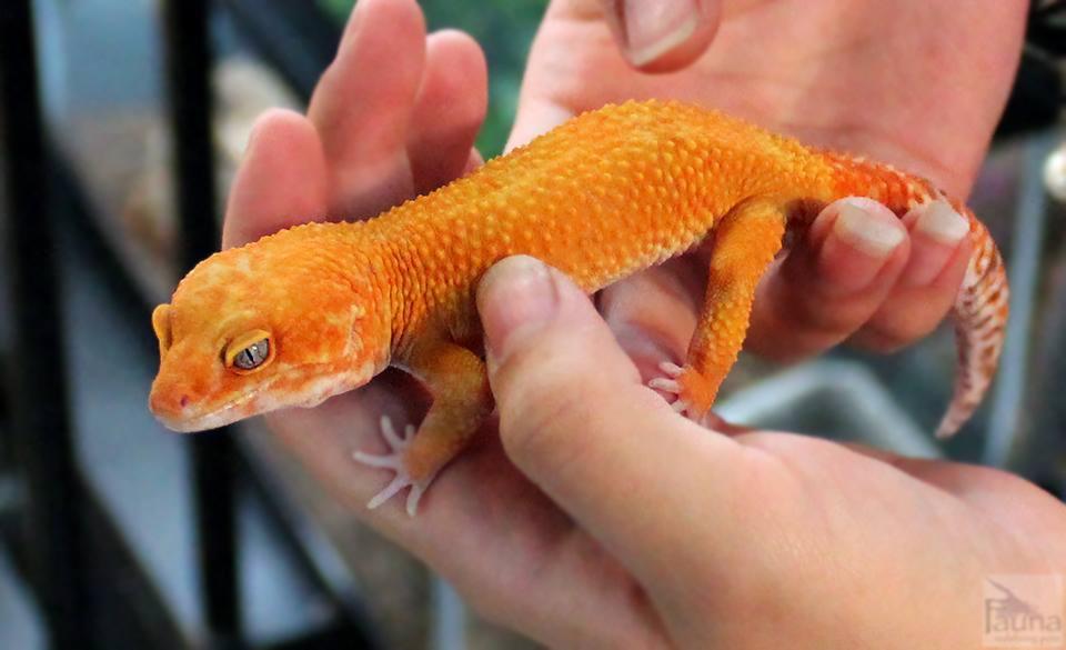 Tangerine Enigma Leopard Gecko (Eublepharis macularius)