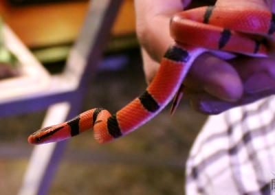 Red Mountain Bamboo Rat Snake (oreocryptophis porphyracea pulchra)