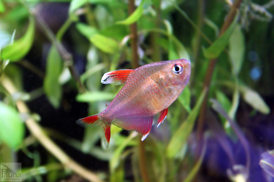 Candy cane tetra hyphessobrycon bentosi for Community fish list