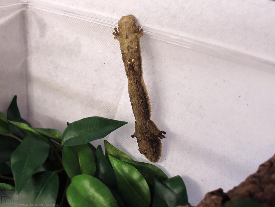 Henkel's Leaf-tailed Gecko