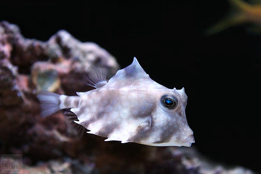 Camel Cowfish (Tetrasomus gibbosus)