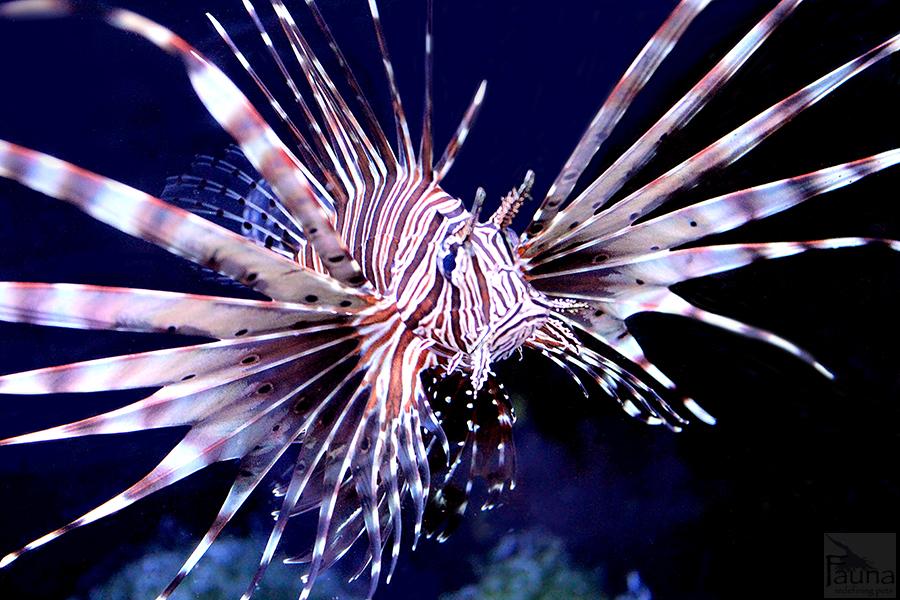 Lionfish predators for Hunt and fish club nyc