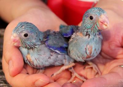 Pacific Parrotlets