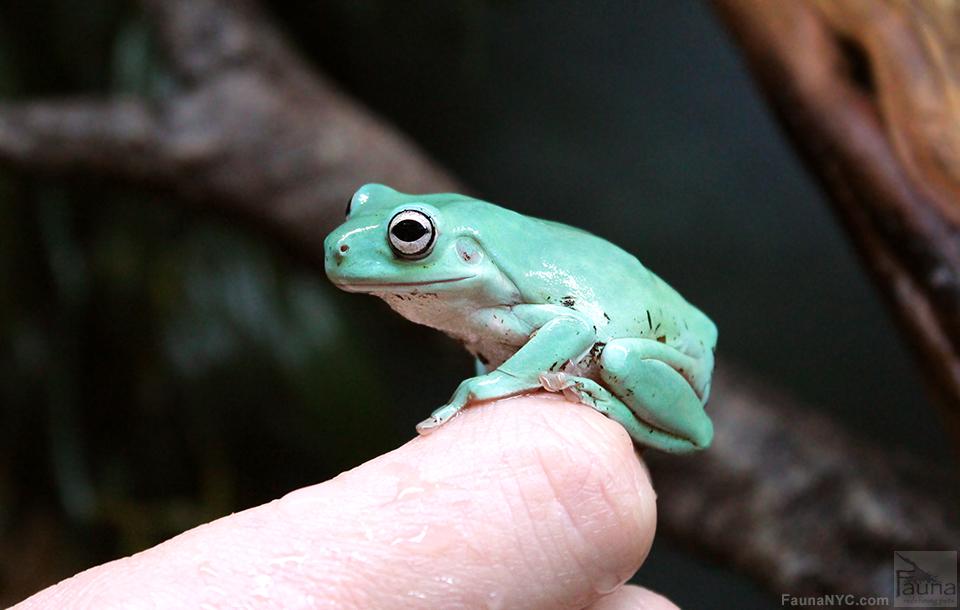 White's Tree Frog aka Dumpy Tree Frog