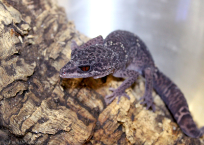 Cave Gecko