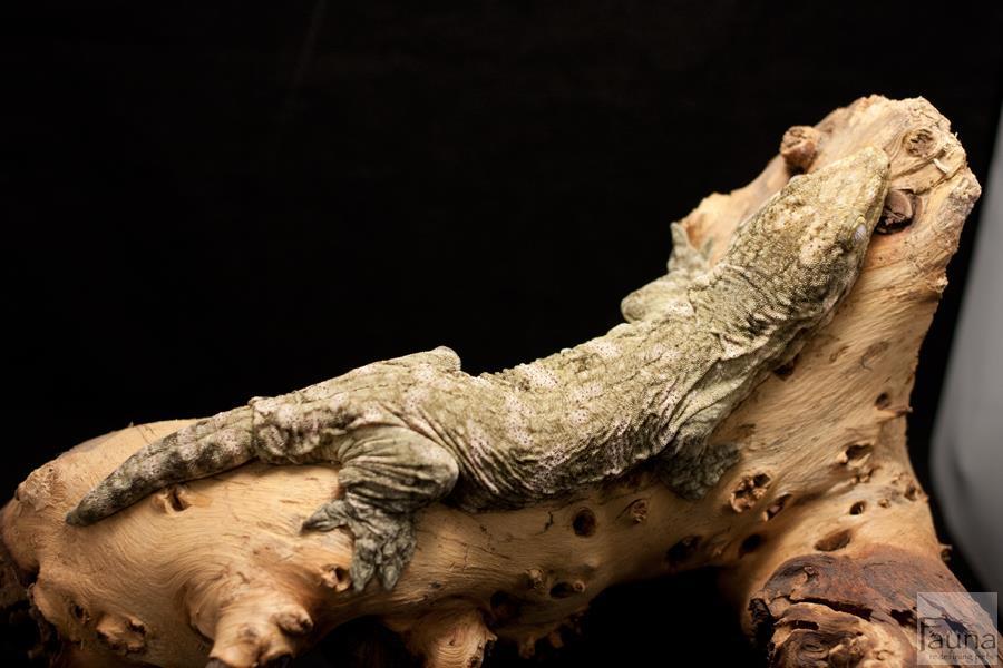 New Caledonian Giant Gecko (Rhachodactylus leachianus)