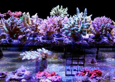 Maricultured SPS Corals