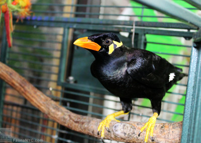 Greater Indian Hill Mynah