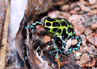 Ranitomeya Variabilis (Southern Variabilis)